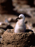 Black-Browed Albatross, Chick on Nest, Falkland Islands Photographic Print by Charles Sleicher