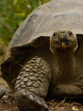 Galapagos Giant Tortoise, Highlands, Santa Cruz Island, Galapagos Islands, Ecuador Photographic Print by Pete Oxford