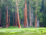 Giant Sequoia Trees, Round Meadow, Sequoia National Park, California, USA Photographic Print by Jamie & Judy Wild