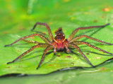 Six Spotted Fishing Spider Feeding on Fly, Pennsylvania, USA Photographic Print by David Northcott