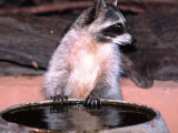 Raccoon at a Water Trough, Arizona, USA Photographic Print by David Northcott