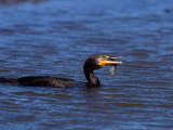 Double-Crested Cormorant with Fish, Ding Darling National Wildlife Refuge, Florida, USA Photographic Print by Charles Sleicher