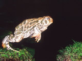 Great Plains Toad Jumping, Native to Western USA Photographic Print by David Northcott