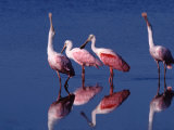 Four Roseate Spoonbills, Ding Darling NWR, Sanibel Island, Florida, USA Photographic Print by Charles Sleicher
