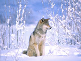 Timber Wolf Sitting in the Snow, Utah, USA Fotografiskt tryck av David Northcott