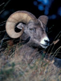 Bighorn Sheep Portrait Photographic Print by Art Wolfe