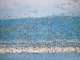 Snow Geese in Flight, Skagit Valley, Skagit Flats, Washington State, USA Photographic Print by Charles Sleicher