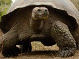 Galapagos Giant Tortoise, Highlands, Santa Cruz Island, Galapagos Islands, Ecuador Fotodruck von Pete Oxford