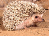 African Hedgehog, Native to Africa Photographic Print by David Northcott