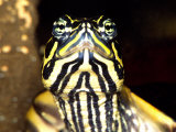Red Belly Turtle Portrait, Native to Southern USA Photographic Print by David Northcott