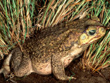 Marine Toad, Southern Texas, USA Photographic Print by David Northcott