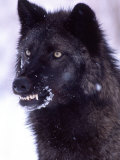 Black Timber Wolf Snarling, Utah, USA Photographic Print by David Northcott
