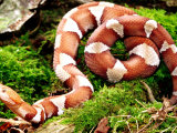 Northern Copperhead, Native to Eastern USA Photographic Print by David Northcott