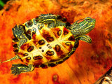 Red Ear Slider Hatchling Photographic Print by David Northcott