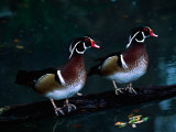 Two Male Wood Ducks, Florida, USA Photographic Print by Charles Sleicher