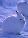 Arctic Hare, Ellesmere Island, Canada Photographic Print by Art Wolfe