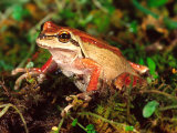 Pacific Tree Frog, Native to California, USA Photographic Print by David Northcott