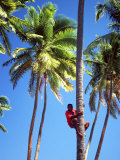 Climbing a Palm Tree To Get Coconuts, Coral Coast, Viti Levu Photographic Print by David Wall