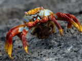 Sally Lightfoot Crab with Egg Sack, Fernandina Island , Galapagos Islands, Ecuador Photographic Print by Pete Oxford