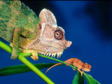 High Casque Chameleon with Young, Native to Eastern Africa Photographic Print by David Northcott