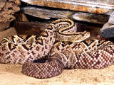 Brazilian Rattlesnake Photographic Print by David Northcott