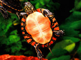 Painted Turtle, Native to Southern USA Photographic Print by David Northcott