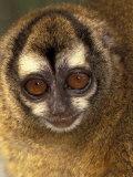Owl Monkey, Panama Fotografie-Druck von Art Wolfe