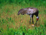 Sandhill Crane with Chick, Myakka River State Park, Florida, USA Photographic Print by Charles Sleicher