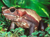 Smooth-sided Toad, Native to South America Photographic Print by David Northcott