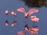 Four Roseate Spoonbills Standing in Shallow Water, Ding Darling NWR, Sanibel Island, Florida, USA Photographic Print by Charles Sleicher