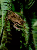 Masked Tree Frog on Fern, Highlands, Rancho Naturalista, Costa Rica Photographic Print by Cindy Miller Hopkins