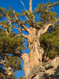 Ancient Bristlecone Pine Forest, Inyo National Forest, California, USA Photographic Print by Jamie & Judy Wild
