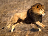 Male African Lion Running, Native to Africa Photographic Print by David Northcott