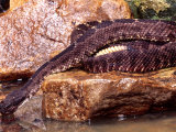 Arizona Black Rattlesnake Drinking Photographic Print by David Northcott