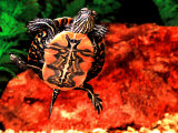 Red Belly Turtle Photographic Print by David Northcott