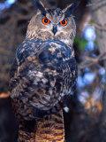 Forest Eagle Owl, Native to Eurasia Fotoprint van David Northcott