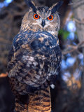 Forest Eagle Owl, Native to Eurasia Photographic Print by David Northcott