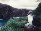 Gray-headed Albatross in Nest on a Rugged Cliff on South Georgia Island Photographic Print by Charles Sleicher