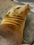 Galapagos Sea Lion, Gardner Bay, Espaola Island, Galapagos Islands, Ecuador Photographic Print by Pete Oxford
