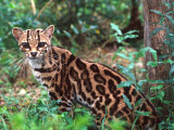 Margay Photographic Print by David Northcott