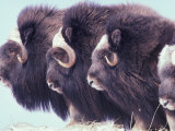 Herd of Muskoxen, Nunivak Island, Alaska, USA Photographic Print by Art Wolfe
