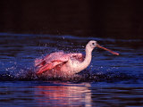 Juvenile Roseate Spoonbill Bathing, Ding Darling NWR, Sanibel Island, Florida, USA Photographic Print by Charles Sleicher