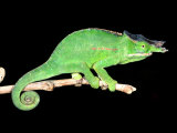 Twin Horn Chameleon, Native to Madagascar Photographic Print by David Northcott