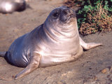 Elephant Seal Weiner Pup, Piedras Blancas, California, USA Photographic Print by David Northcott