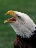 Águila calva Lámina fotográfica por Art Wolfe