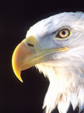 Bald Eagle Portrait, Native to USA and Canada 写真プリント : デイヴィッド・ノースコット