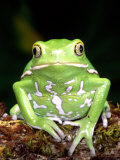 Painted Monkey Frog, Native to Paraguay Photographic Print by David Northcott