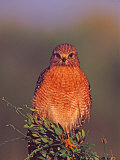 Red-shouldered Hawk in Early Morning Light, Everglades National Park, Florida, USA Photographic Print by Charles Sleicher