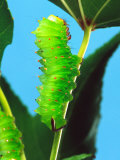 Polyphemus Moth Caterpillar, USA Photographic Print by David Northcott