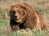 Grizzly or Brown Bear, Kodiak Island, Alaska, USA Photographic Print by Art Wolfe